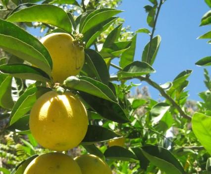 Lemon Tree at Casa de la Vida, Tepoztlan, Mexico