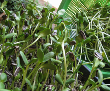 Organic sunflower sprouts